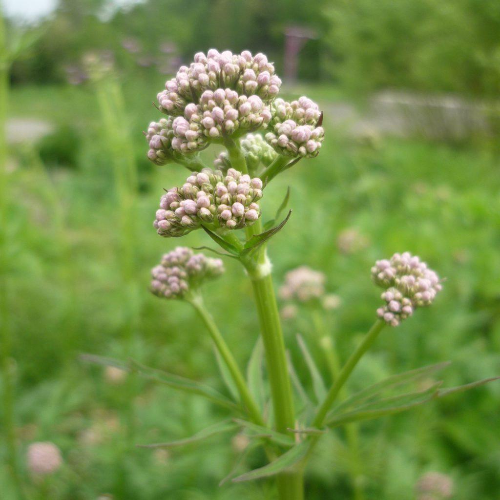 Jeune fleur de valériaine