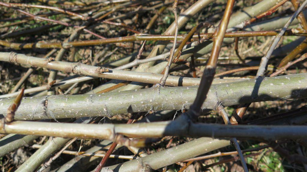 Branches de peuplier baumier